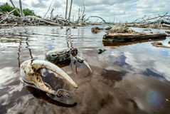 Błękitny Gruntowy kraba Namorzynowy Gruntowy krab l (Cardisoma Guanhumi) Obrazy Stock