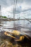 Błękitny Gruntowy kraba Namorzynowy Gruntowy krab l (Cardisoma Guanhumi) Fotografia Stock