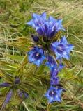 Błękitny halny kwiat - wierzbowa gencjana Obraz Stock