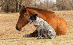 Błękitny Heeler krzyża psa obsiadanie obok jej sypialnego Arabskiego końskiego przyjaciela zdjęcia stock