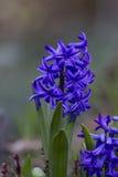 Błękitny hiacyntów kwitnąć Obrazy Royalty Free