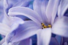 błękitny hiacynt Zdjęcia Royalty Free