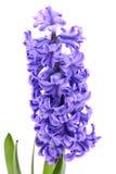 Błękitny hiacynt Fotografia Stock