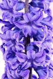 Błękitny hiacynt Obrazy Stock