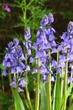 Błękitny hiacynt Fotografia Royalty Free