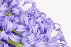 Błękitny hiacynt Zdjęcie Stock