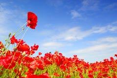 błękitny Holland maczków niebo Obrazy Royalty Free