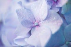 Błękitny hortensi zakończenie Obrazy Royalty Free