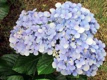 Błękitny hortensia w ogródzie Obrazy Royalty Free