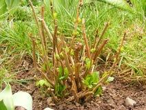 Błękitny hortensja krzak w wiosna ogródzie, Zielona hortensi roślina Obraz Stock
