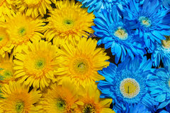 Błękitny i żółty gerbera kwitnie dekorację Zdjęcia Stock