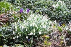 Błękitny i biały śnieżyczki wiosny bellflowers zbliżenia widok obraz royalty free