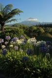 Błękitny i biały agapanthus kwitnie z górą Taranaki w tle Obraz Royalty Free