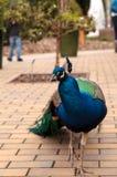 Błękitny i zielony męski pawi Pavo muticus Obrazy Stock
