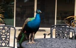 Błękitny i zielony męski pawi Pavo muticus Fotografia Royalty Free