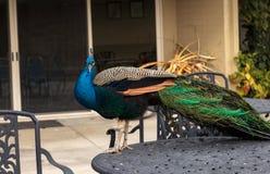 Błękitny i zielony męski pawi Pavo muticus Zdjęcie Stock
