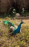 Błękitny i zielony męski pawi Pavo muticus Obraz Stock
