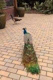 Błękitny i zielony męski pawi Pavo muticus Zdjęcie Royalty Free