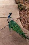 Błękitny i zielony męski pawi Pavo muticus Zdjęcia Royalty Free
