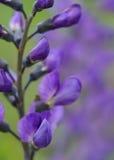 Błękitny indygowy Zdjęcia Stock