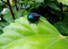 Błękitny insekt na liściu poślubnik zdjęcie stock