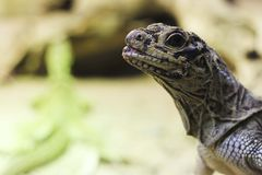 Błękitny jęzoru jaszczurka Obraz Stock