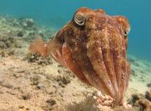 błękitny jasna cuttlefish sepia woda Zdjęcia Stock