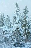 błękitny jasnego jedlinowego ranek nieba śnieżna drzew zima Obraz Stock