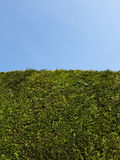 błękitny jasnego ogródu żywopłotu niebo wysoki Zdjęcia Royalty Free