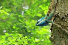 błękitny jaszczurka Fotografia Royalty Free