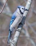 Błękitny Jay obraz stock