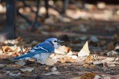 Błękitny Jay zdjęcie stock
