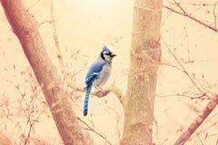 Błękitny Jay Zdjęcie Royalty Free