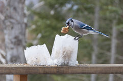 Błękitny Jay na Lodowych Latarniowych Dozownikach z Chlebem Obrazy Stock