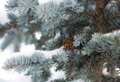 błękitny jedlinowy drzewo Zdjęcie Stock