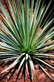 błękitny kaktusowa jukka Obraz Royalty Free