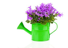 Błękitny kampanula kwiat w zielonym garnku Obraz Stock