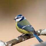 Błękitny kapiszon (Parus caeruleus) Zdjęcie Royalty Free