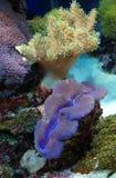 błękitny koralowa miękka część Obraz Royalty Free