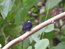 Błękitny Koronowany Manakin Jaco Costa Rica Obraz Stock