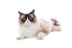 błękitny kot ja przyglądał się Zdjęcie Royalty Free