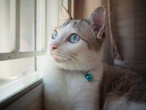 błękitny kota oczy Fotografia Royalty Free