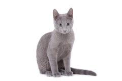 błękitny kota rosjanin Zdjęcia Stock
