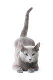 błękitny kota rosjanin Obrazy Royalty Free
