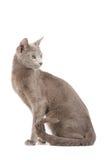 błękitny kota rosjanin zdjęcia royalty free