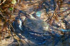 błękitny krab Obrazy Stock