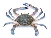 Błękitny krab Zdjęcia Stock