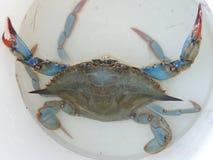 BŁĘKITNY krab - GRANCHIO BŁĘKITNY Fotografia Stock