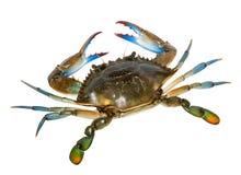 Błękitny krab odizolowywający na białym tle Zdjęcia Royalty Free