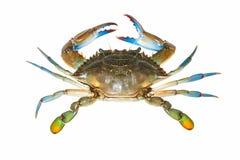 Błękitny krab odizolowywający na białym tle Zdjęcia Stock